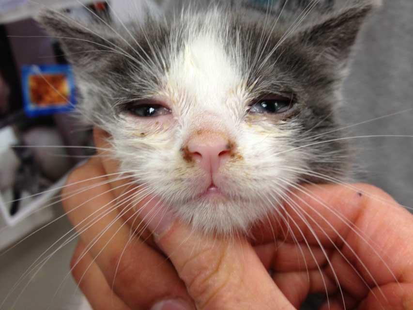 вирусная инфекция у кота чем лечить