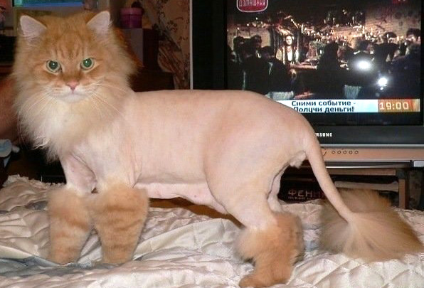 Может кот умереть от стрижки