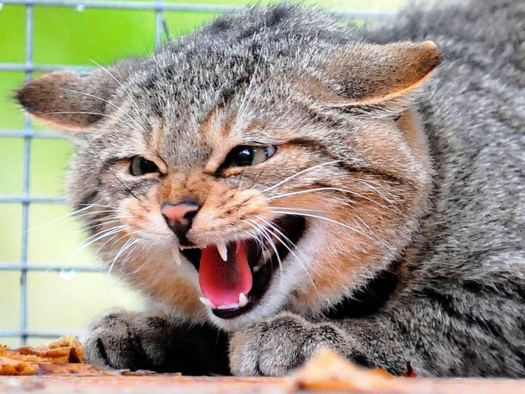 Бешеная кошка