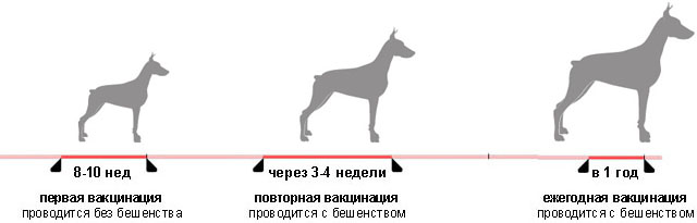 Схема вакцинации собак.