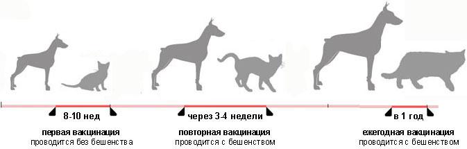 Прививки котятам схема
